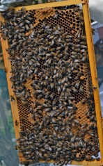 Keeping busy: We need bees to pollenate crops, and bees need our help