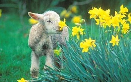 Where to see lambs this spring  |Baby Lambs In Spring