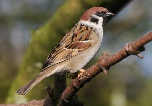 Tree sparrows: a previously common species, these are now increasingly rare