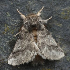 The oak processionary moth, which has a lifespan of about three days in high summer, when it lays its eggs for the next season