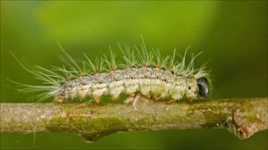 Beware: the caterpillar of the oak processionary moth should not be touched with bare skin, experts wanr