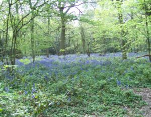 Selsdon Wood bluebells