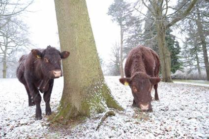 Are these moo-cows or moa-cows? Some of the Sussex cattle which roam Happy Valley in Coulsdon