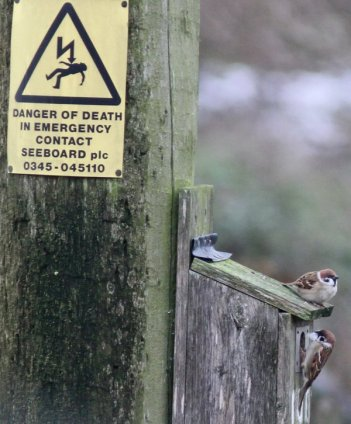 The last two tree sparrows in Beddington Farmlands, as photographed this week by Peter Alfrey
