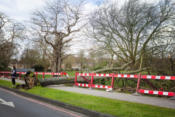 Crushing: No one was hurt by this fallen tree, a victim of Storm Katie. Photograph by Lee Townsend