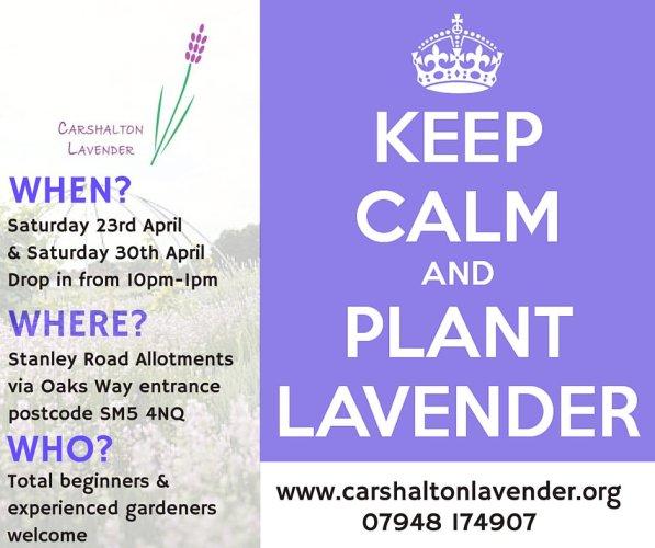 Carshalton Lavender