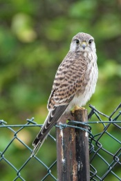 Beddington Kestrel