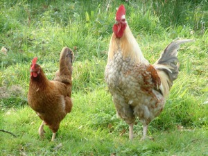 Godstone Farm chickens