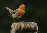 robin-in-garden