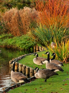 geese-at-waddon-ponds